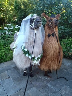 We Are Gathered Here Today to Celebrate the Love Between Mr. and Mrs. Llama