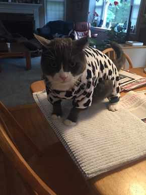 Cow Kitty is Not Pleased