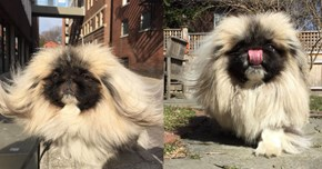 We've Found the Fluffiest Dog in the World and His Name is Wonton Soup