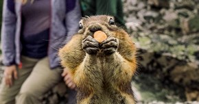 Scavenging Squirrel Perfectly Photobombs Engagement Shoot