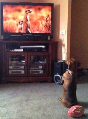 Dachshunds and Meerkats Are Basically Cousins