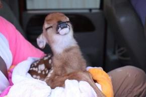 The Smug Goat Just Met His Match; Meet Smug Deer