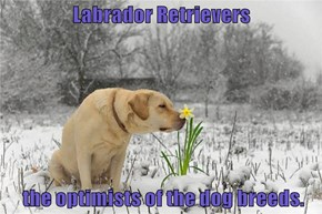 Labrador Retrievers   the optimists of the dog breeds.