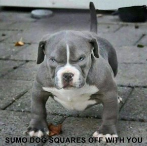 SUMO DOG SQUARES OFF WITH YOU