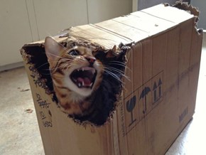 Bagel the Bengal, Destroyer of Boxes
