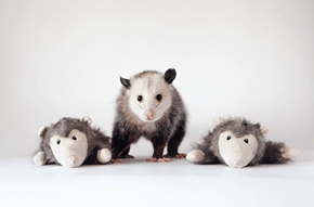 Poppy the Possum Proves That Every Pet is Beautiful