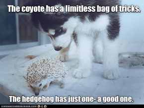 Wait, that's no coyote...
