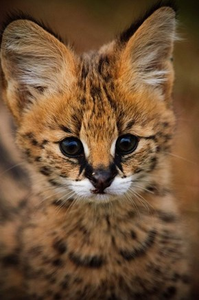 An adorable serval kitten