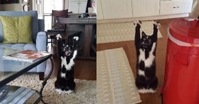 "Keys, the ""Goal Kitty"", Can't Stop Putting Her Paws Up in the Air"