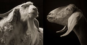 Photographer Captures the Unique Personalities of Goats With Gorgeous Portraits