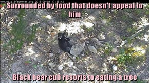 Surrounded by food that doesn't appeal to him  Black bear cub resorts to eating a tree