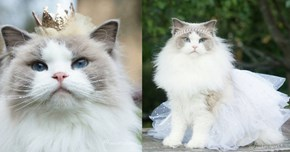Bow Down and Kiss the Paw of Princess Aurora, the Most Elegant Cat You've Ever Seen
