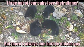 Three out of four cubs love their dinner  But there's always one hard to please guy