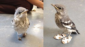Lucky Bird Gets Help for Her Twisted Feet Thanks to Some Creative Humans