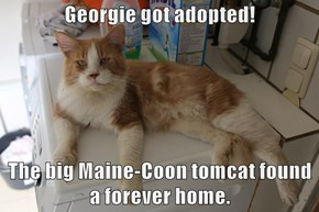 Georgie got adopted!  The big Maine-Coon tomcat found a forever home.