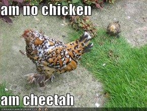 am no chicken  am cheetah