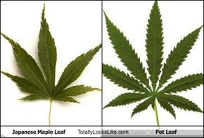 Japanese Maple Leaf Totally Looks Like Pot Leaf