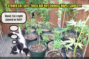 STONER CAT SAYZ: THESE ARE NOT CHINESE MAPLE LEAVES!!!!