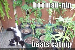 hooman-nip  beats catnip