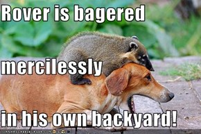 Rover is bagered  mercilessly in his own backyard!
