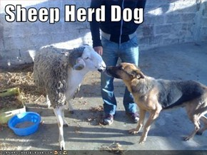 Sheep Herd Dog