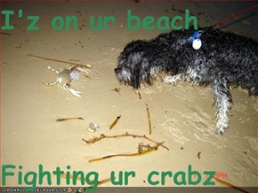 I'z on ur beach  Fighting ur crabz