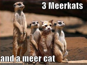 3 Meerkats  and a meer cat