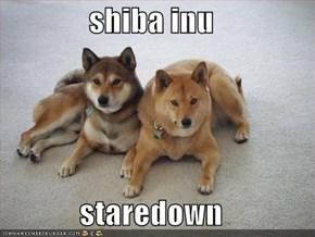 shiba inu  staredown
