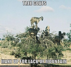 TREE GOATS  MAKE UP FOR LACK OF MOUNTAIN