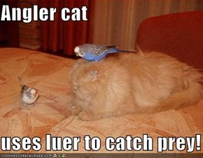 Angler cat  uses luer to catch prey!