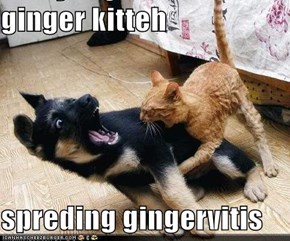 ginger kitteh   spreding gingervitis