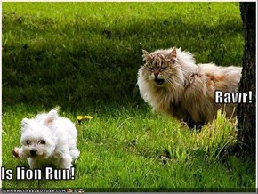 Rawr! Is lion Run!