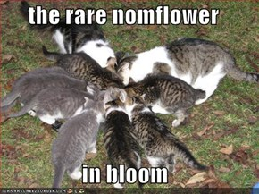 the rare nomflower   in bloom