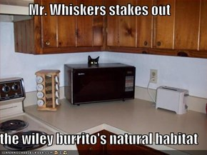 Mr. Whiskers stakes out  the wiley burrito's natural habitat