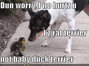 Dun worry, I no hurtz u                            I'z rat terrier not baby duck terrier