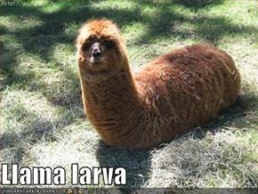 Llama larva