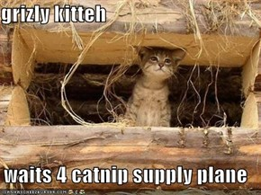 grizly kitteh  waits 4 catnip supply plane
