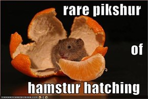 rare pikshur of hamstur hatching
