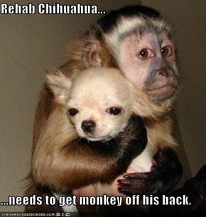 Rehab Chihuahua...  ...needs to get monkey off his back.