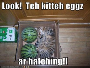 Look!  Teh kitteh eggz  ar hatching!!