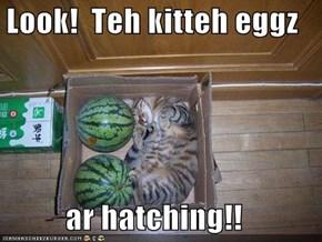 Look!  Teh kitteh eggz  ar hatching!!