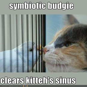 symbiotic budgie  clears kitteh's sinus