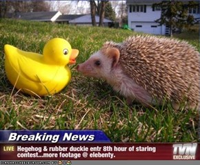 Breaking News - Hegehog & rubber duckie entr 8th hour of staring contest...more footage @ elebenty.