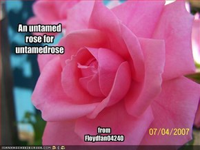 An untamed rose for untamedrose