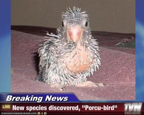 "Breaking News - New species discovered, ""Porcu-bird"""