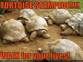 TORTOISE STAMPEDE!!!!  WALK for your lives!