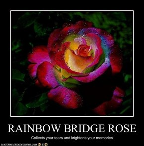 RAINBOW BRIDGE ROSE