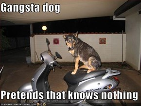 Gangsta dog  Pretends that knows nothing
