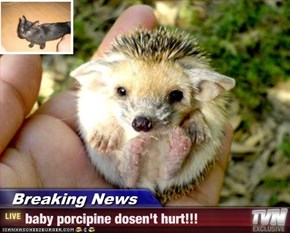 Breaking News - baby porcipine dosen't hurt!!!