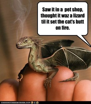 Saw it in a  pet shop, thought it waz a lizard til it set the cat's butt on fire.